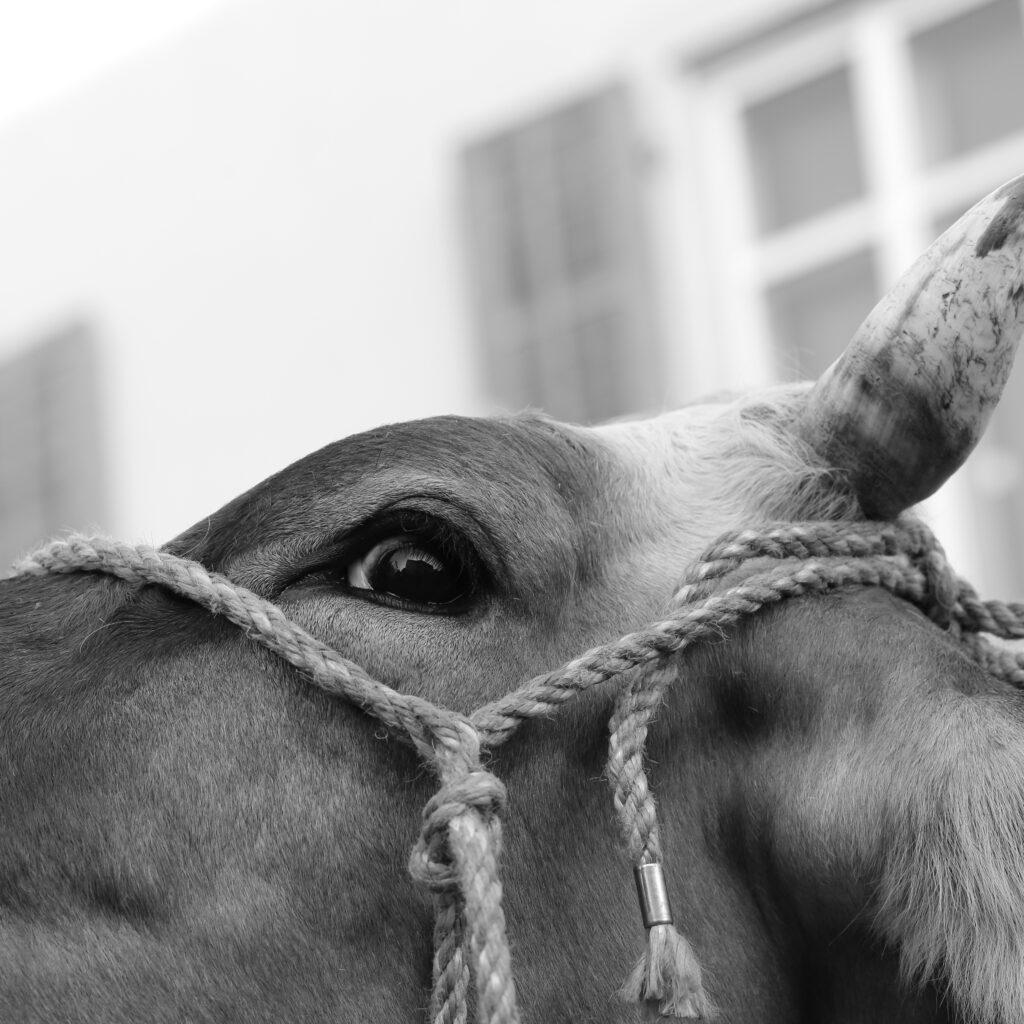 Viehmarkt Albisrieden 2019