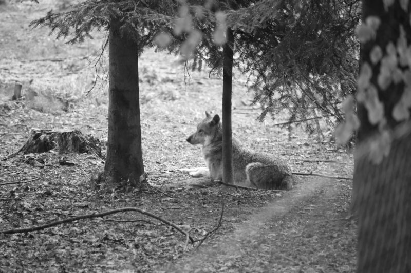 Wolf im Tierpark Langenberg (Bild: StC)